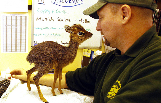 A full-grown Dik-dik.jpg